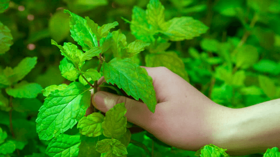 Mint(Pudina) and Its Amazing Health Benefits You Must know